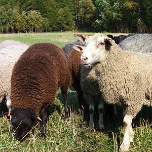 IMG_7234-7235 får